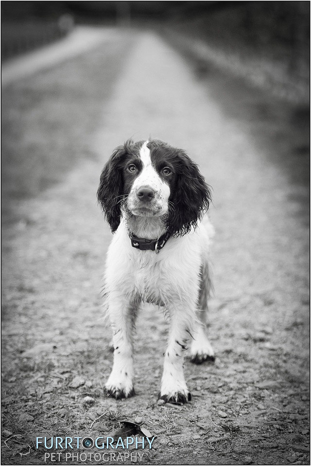 Gun Dog and working dog Photography manchester