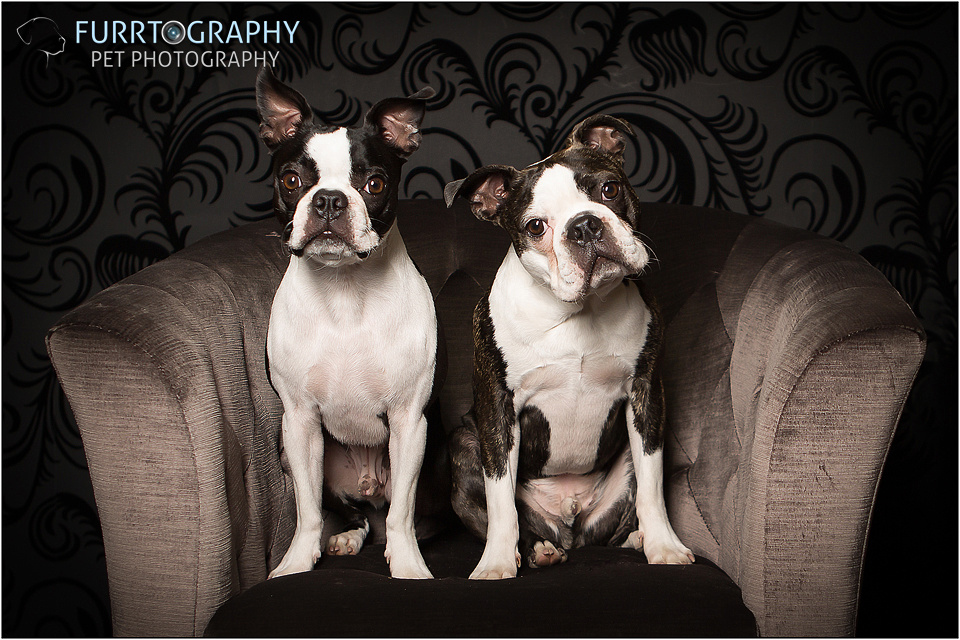 Boston and Buddy The Two Boston Terriers