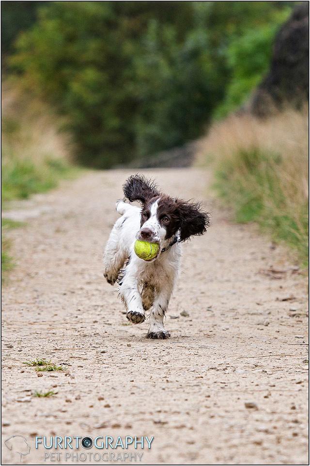 Gun Dog and working dog Photography manchester
