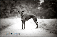Beau the Whippet