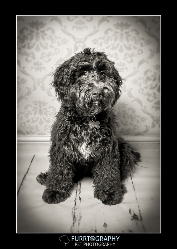 Cockapoo, pup and up, furrtography